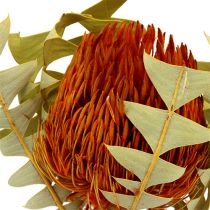 Banksia Baxterii Orange 8St