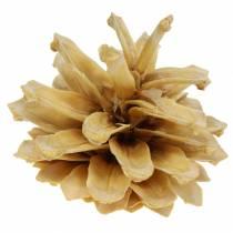 Bergkiefernzapfen Pinus mugo Creme 2-5cm 1kg