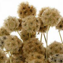 Scabiosa getrocknet Natur Skabiose Trockenblumen H50cm 100g