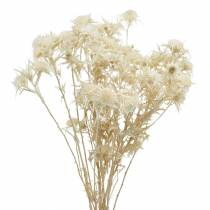 Trockenblume Distel Zweig Gebleicht 80g