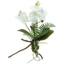 Orchidee Weiß mit Moosballen und Wurzeln 36cm