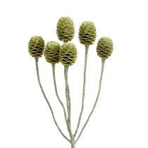 Sabulosum Zweig 4-6 Grün gefrostet 25St