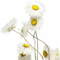 Trockenblumen Acroclinium Weiße Blüten Trockenfloristik 60g