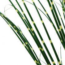 Zebragras im Topf Grün 60cm