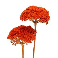 Achillea 1kg Orange