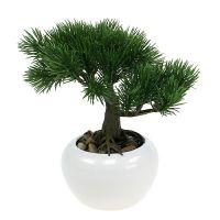 Bonsaibaum im Topf 19cm 1St