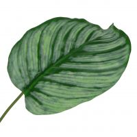 Deko-Blatt, Calathea Blatt 6St