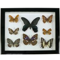 Schaukasten Schmetterling 28cm x 25cm