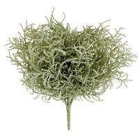 Silberkörbchenbusch Hellgrün 29cm
