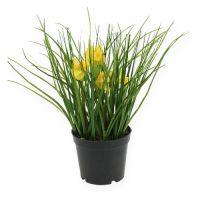 Osterglocken mit Gras im Topf 25cm