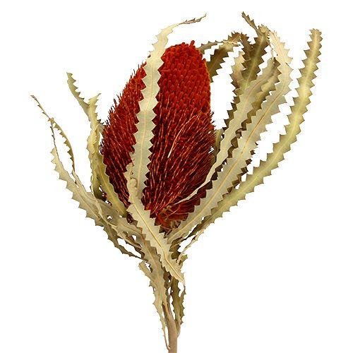 Banksia Hookerana Orange 7St