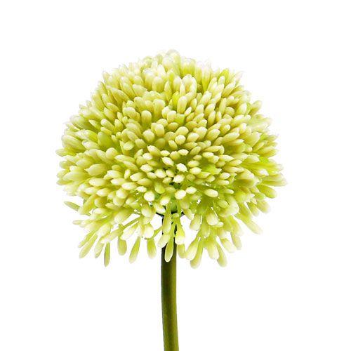 Deko-Allium creme Ø7cm L 38cm