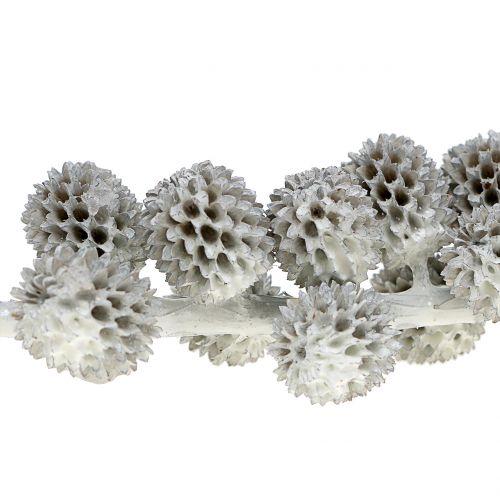 Kasuarina Zapfen am Ast Weiß-Grau gewachst 250g