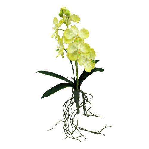 Orchidee mit Wurzeln Hellgrün L45cm