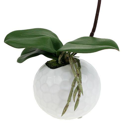 Phalaenopsis Creme im Keramiktopf 33cm