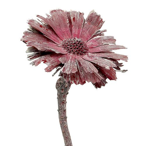 Protea Rosette erika gefrostet  Ø8-9cm 25St