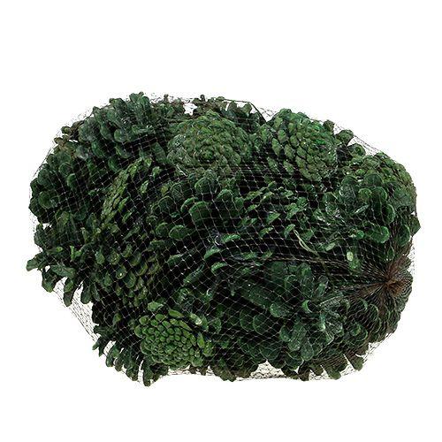Schwarzkieferzapfen Grün gefrostet 5-7cm 1kg