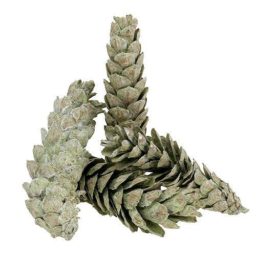 Strobus Zapfen als Naturdeko 15cm - 20cm Grün 50St