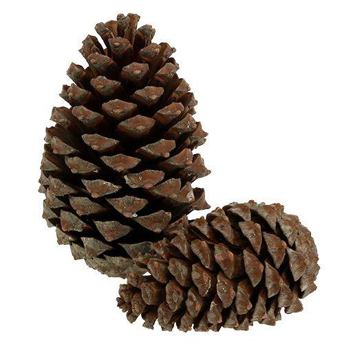 Zapfen Pinus Maritima 10cm - 15cm Natur 3St