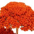 Achillea 1kg Orange